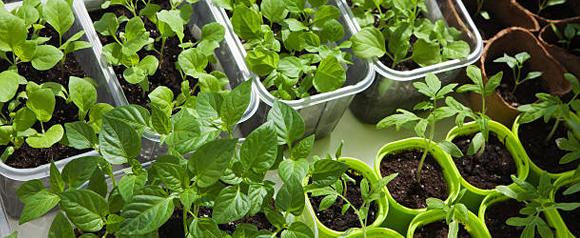 6 причин вырастить рассаду самостоятельно