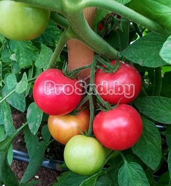 Семена Томата F1 Малиновый земледелец