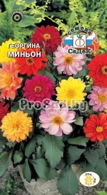 Георгина Миньон