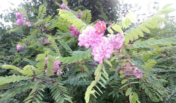 В Могилёве в сентябре цветут жасмин, черешня, акация и яблони