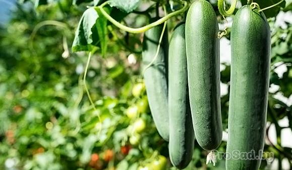 Уникальные гибриды огурцов для суперурожая от Уральского дачника