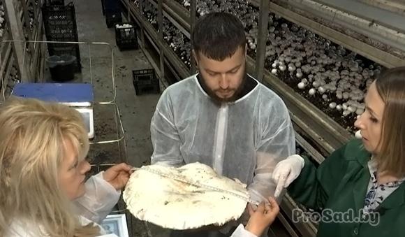 В Украине вырастили гигантский шампиньон
