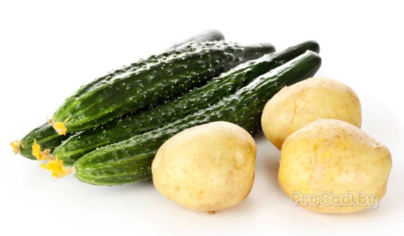 Зачем высаживают огурцы между картошкой