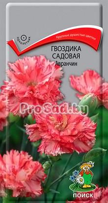 Гвоздика садовая Авранчин